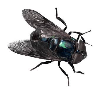 blowfly.jpg