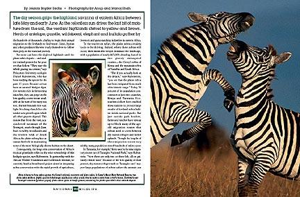 zebras_spread.jpg